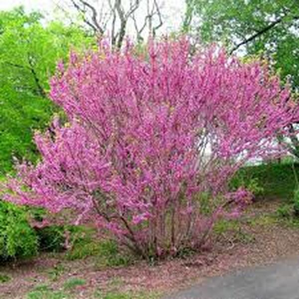 Cercis chinensis: Chinese Redbud Seeds