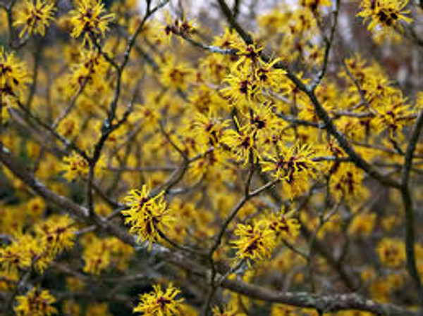 Hamamelis mollis: Chinese Witch Hazel Seeds