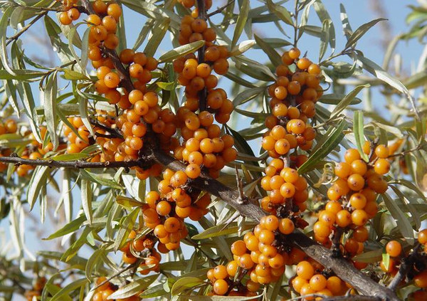 Hippophae rhamnoides: Sea Buckthorn Seeds