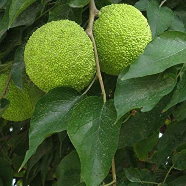 Maclura pomifera: Osage Orange Seeds