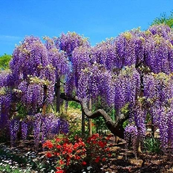 Wisteria sinensis: Chinese Wisteria Seeds
