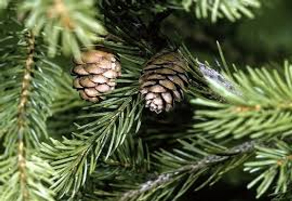 Picea rubens: Red Spruce Seeds