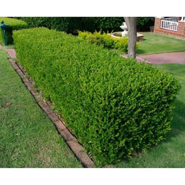Buxus sempervirens: Green or Common Boxwood Seeds