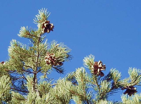 Pinus monophylla: Single Leaf Pinyon Pine Seeds