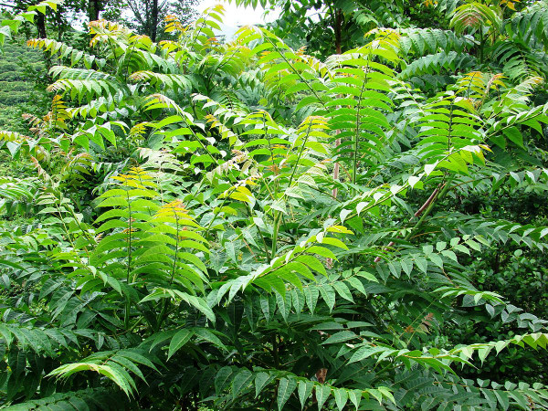 Ailanthus altissima: Tree of Heaven Seeds