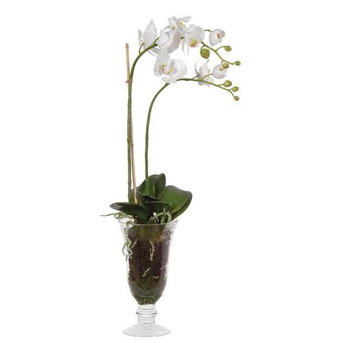 Phalaenopsis Plants in Glass Goblet Vase