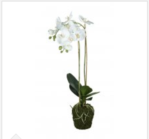 Orchid Phalaenopsis In Soil H720mm White