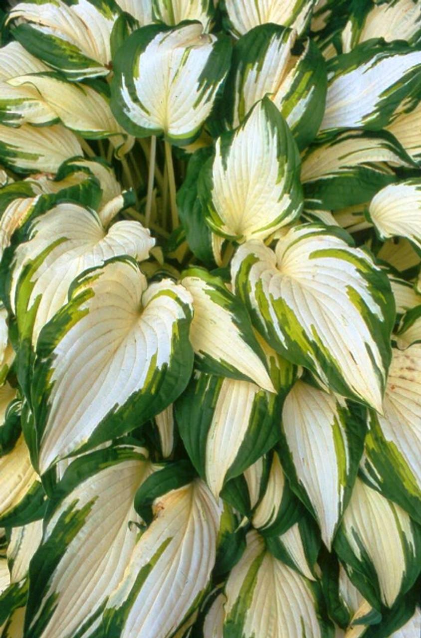 White Elephant Hosta Shade Perennial Large Hosta Plant