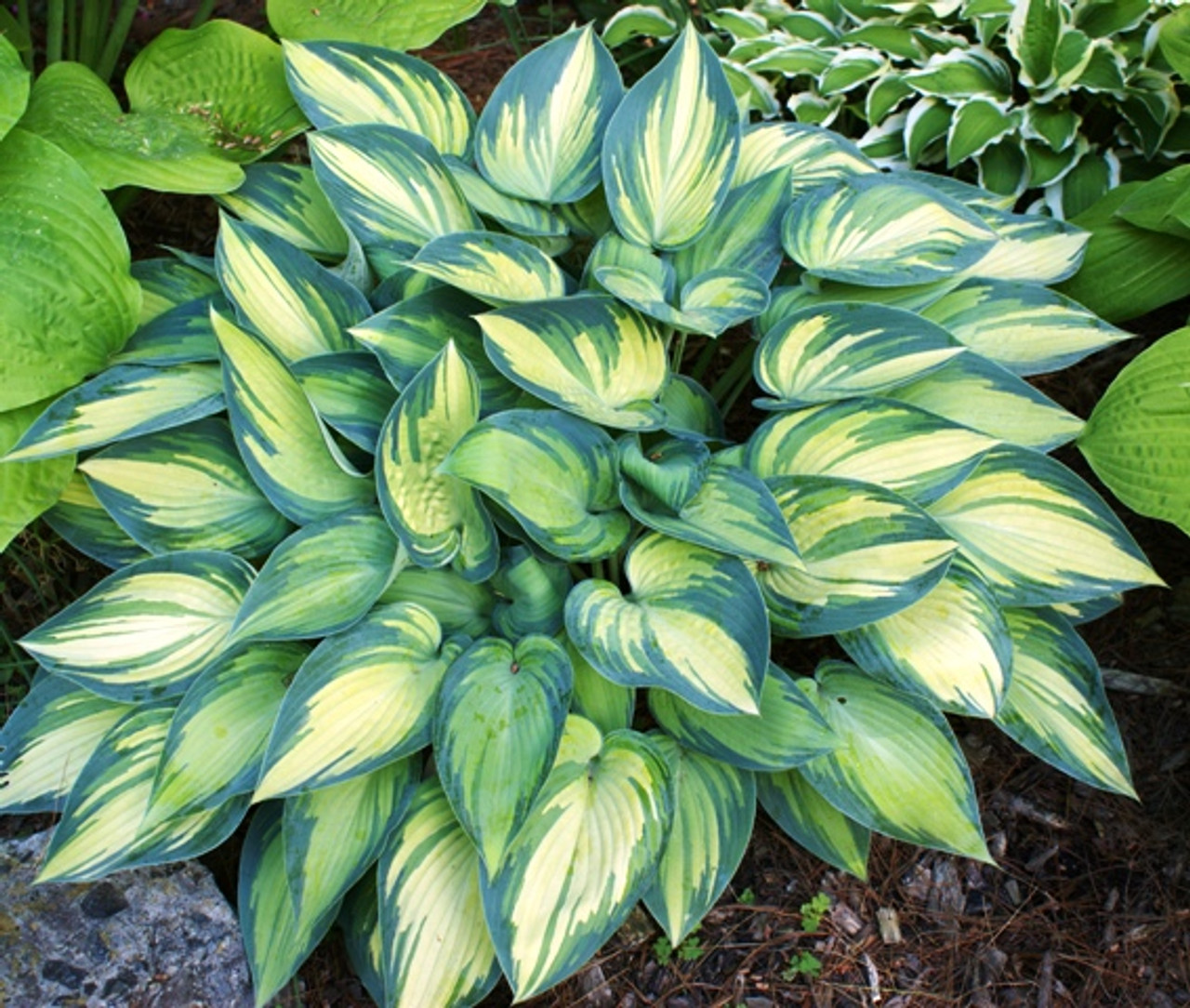 June Hosta Shade Perennial Sun Tolerant Hosta Plant