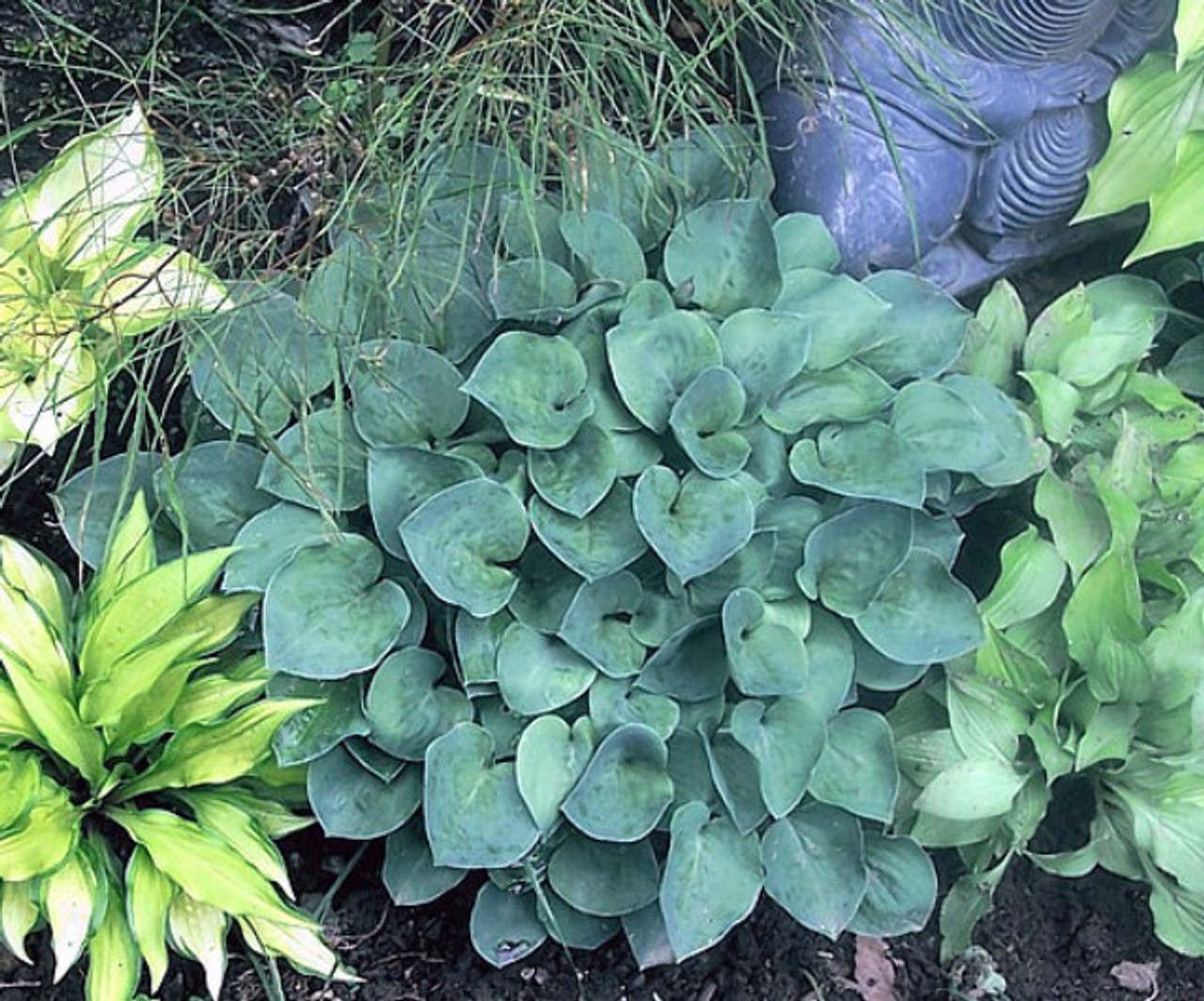 Bill Dresss Blue Hosta Shade Perennial Blue Hosta Plant