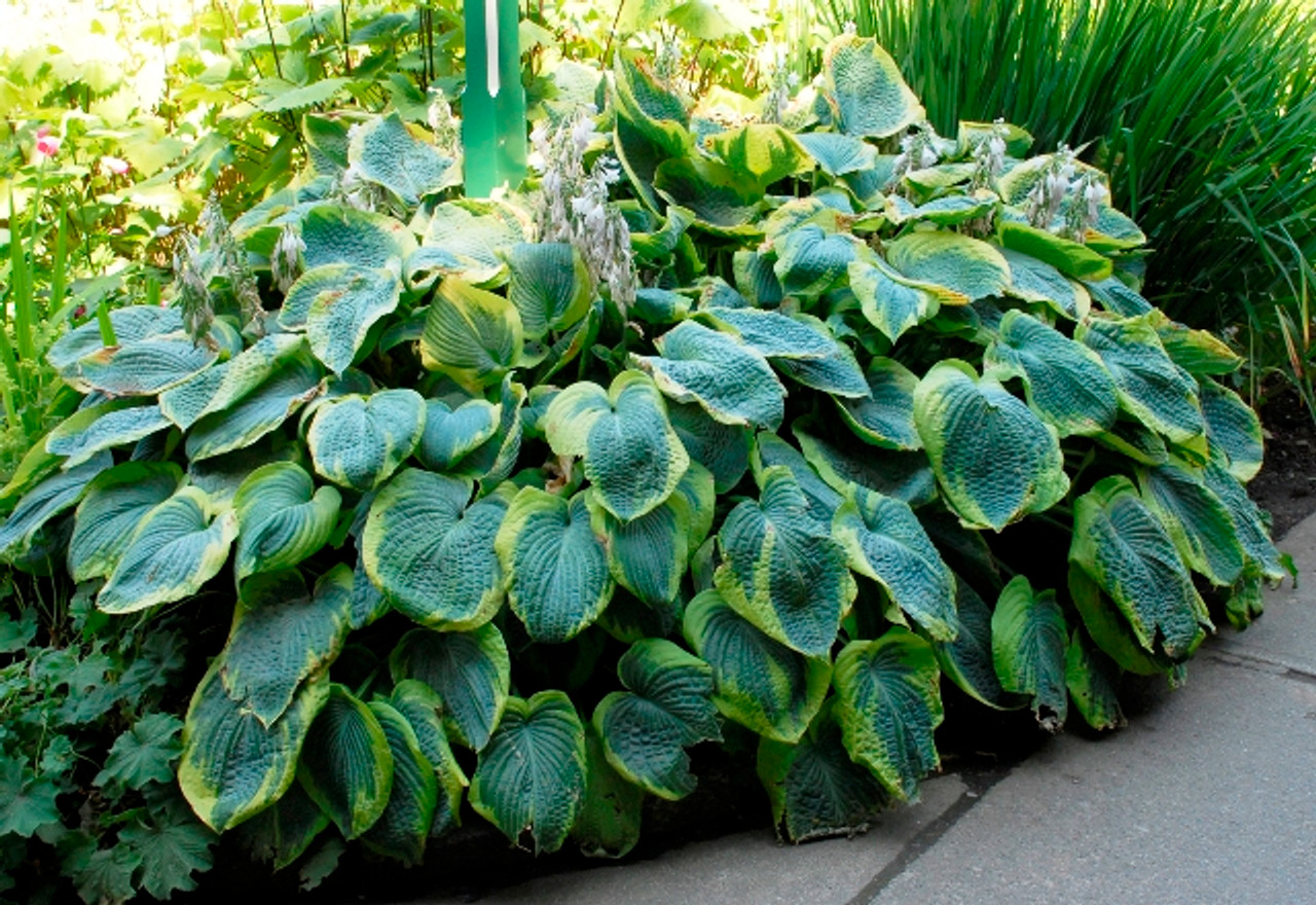 Frances Williams Hosta Shade Perennial Slug Resistant Hosta Plant