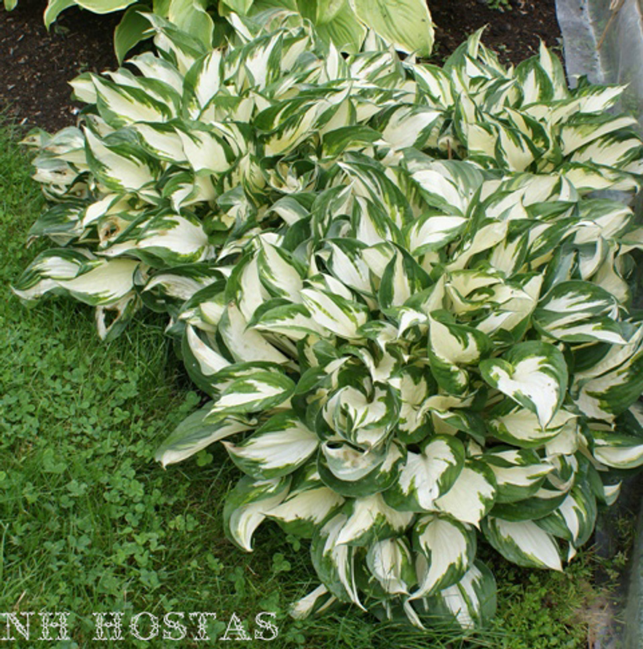 Fire And Ice Hosta Shade Perennial Sun Tolerant Hosta Plant