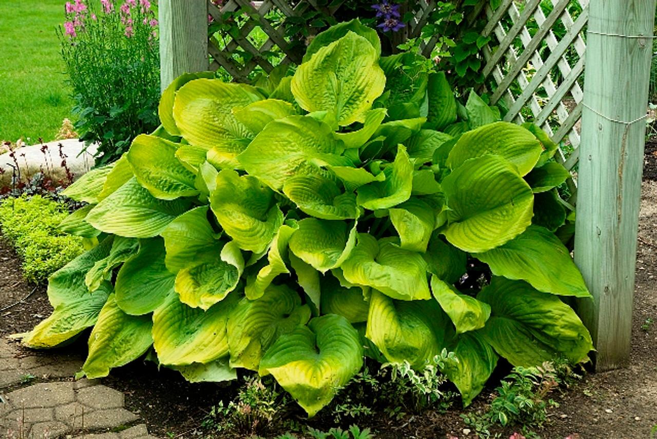 Sum And Substance Hosta Shade Perennial Giant Hosta Plant
