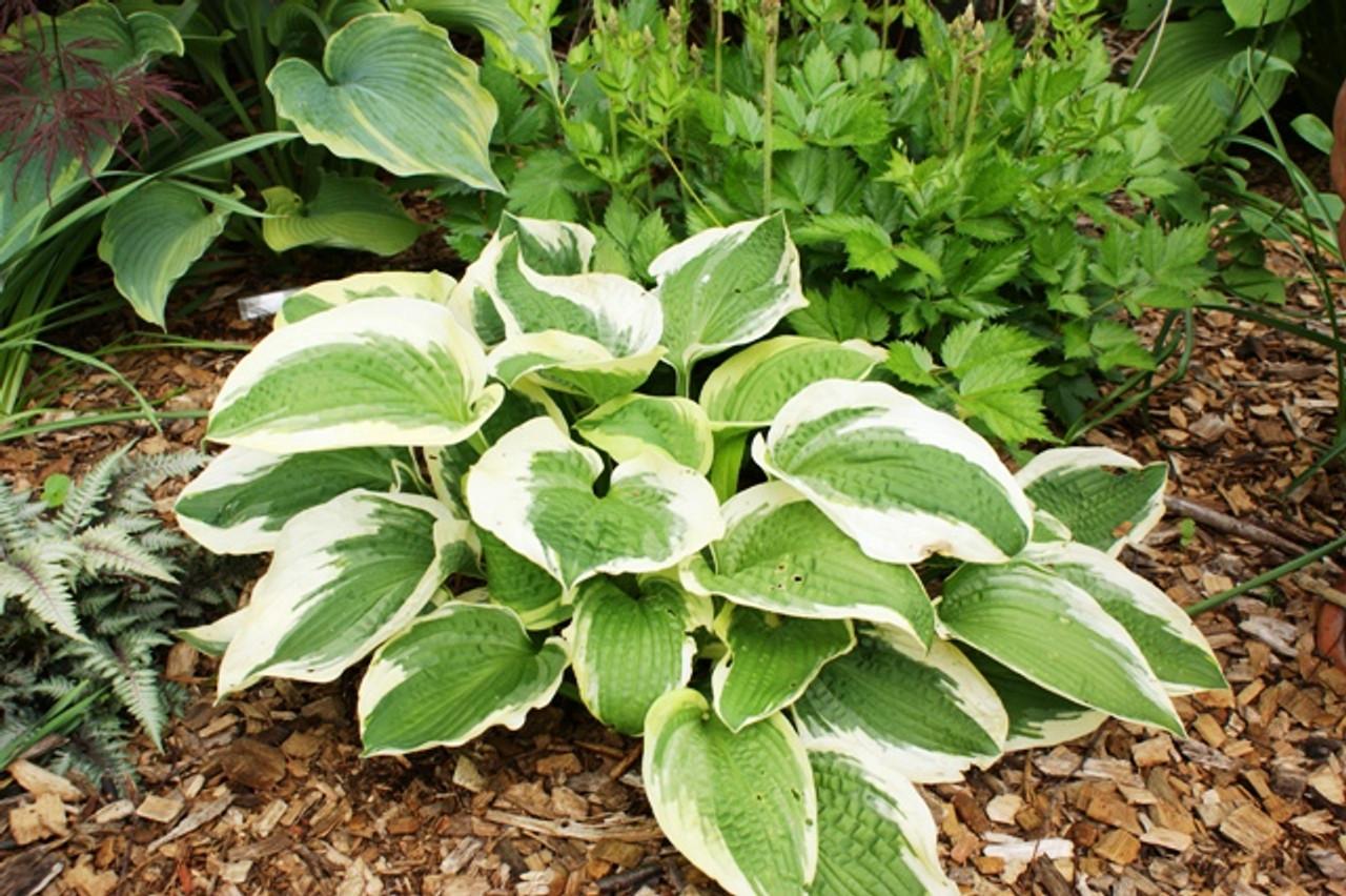 Christmas Pageant Hosta Shade Perennial Medium Hosta Plant