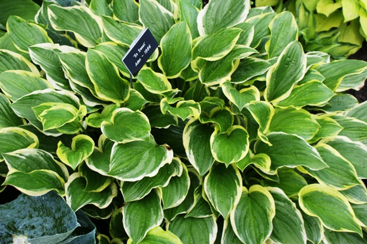 So Sweet Hosta Shade Perennial Fragrant Hosta Plant