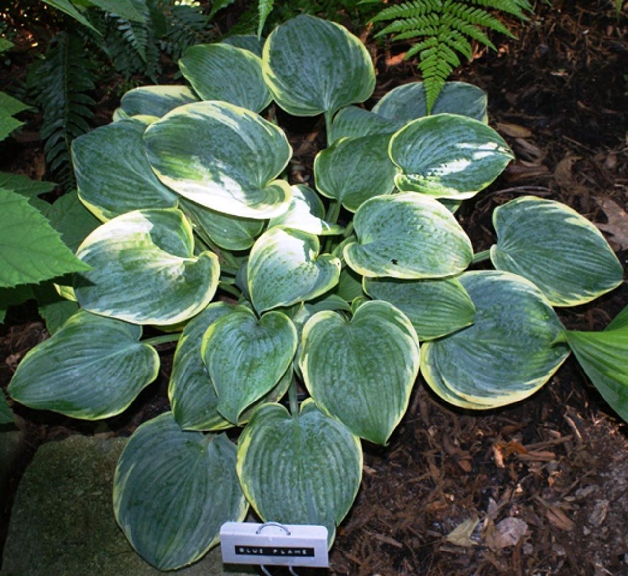 Blue Flame Hosta Shade Perennial Medium Blue Hosta Plant