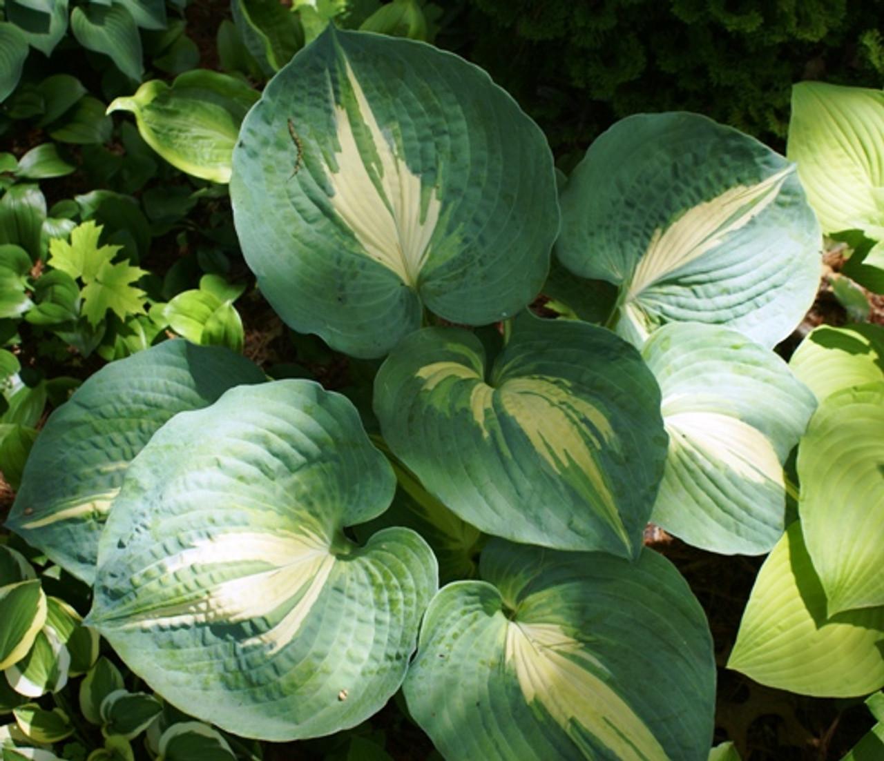 Dream Weaver Hosta Shade Perennial Blue Green Hosta Plant
