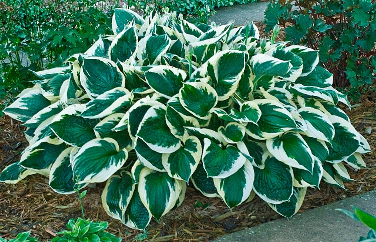 Minuteman Hosta Shade Perennial Large Hosta Plant