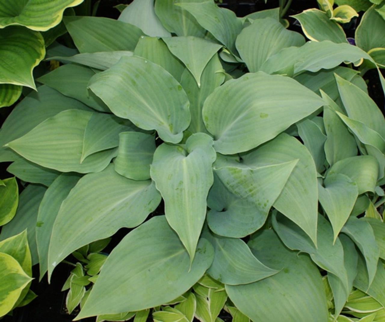 Lederhosen Hosta Shade Perennial Fragrant Blue Hosta Plant