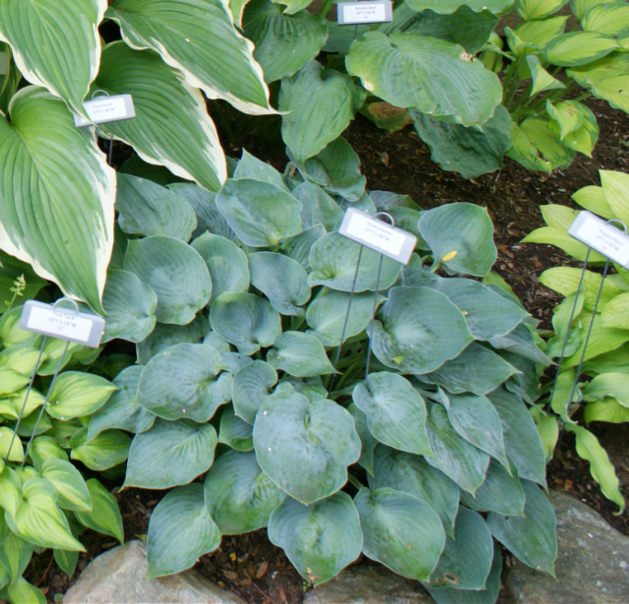 Pewterware Hosta Shade Perennial Small Blue Hosta Plant