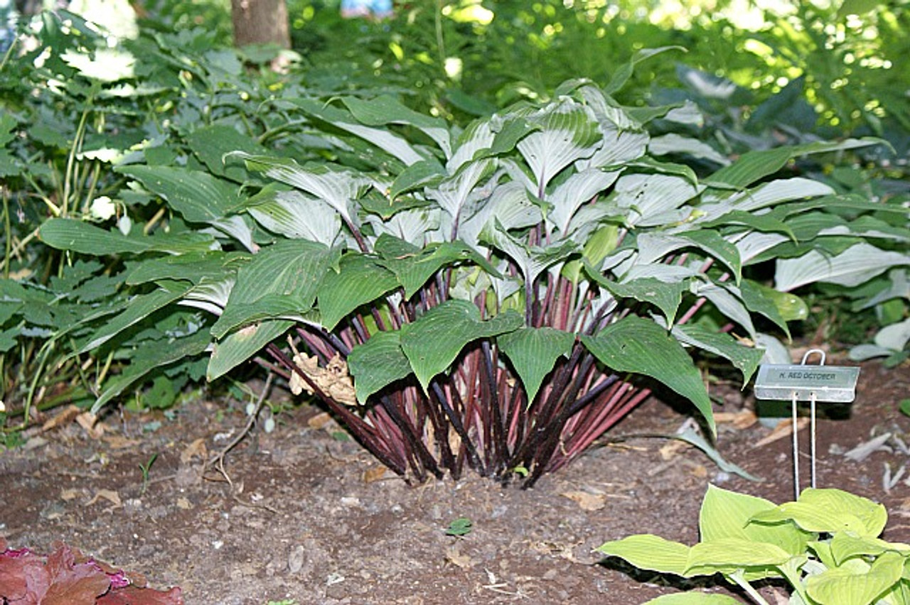 Red October Hosta Shade Perennial Medium Red Petiole Hosta Plant
