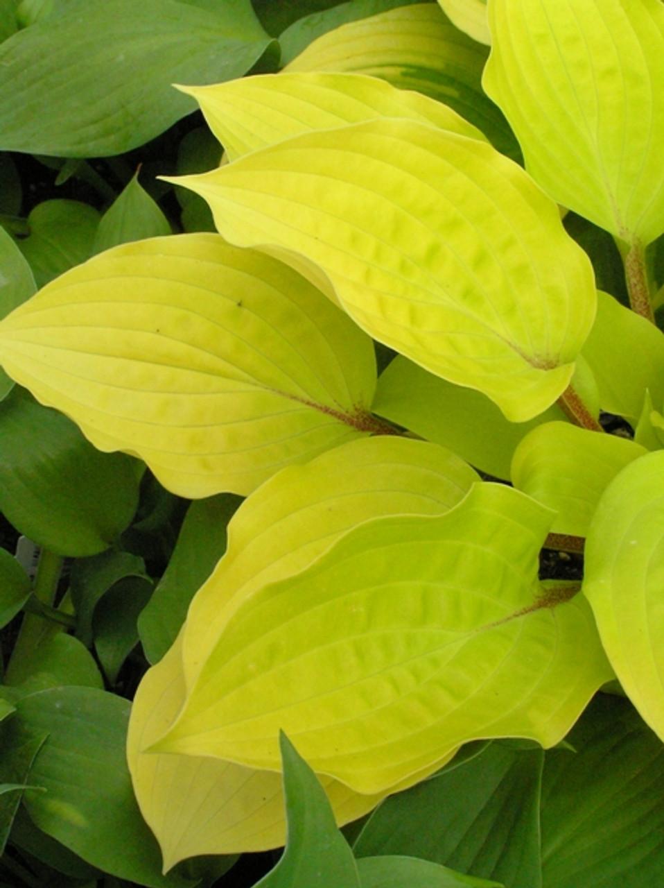 Fire Island Hosta Shade Perennial Medium Hosta Plant