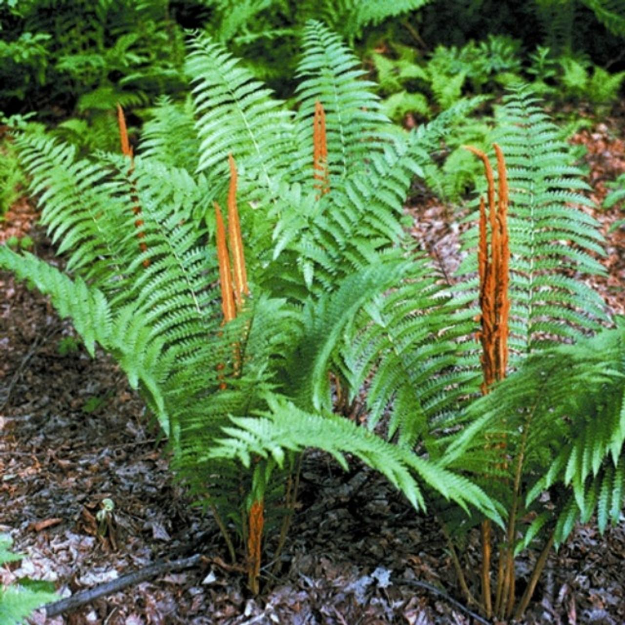 Cinnamon Fern Shade Perennial Hardy Fern Plant