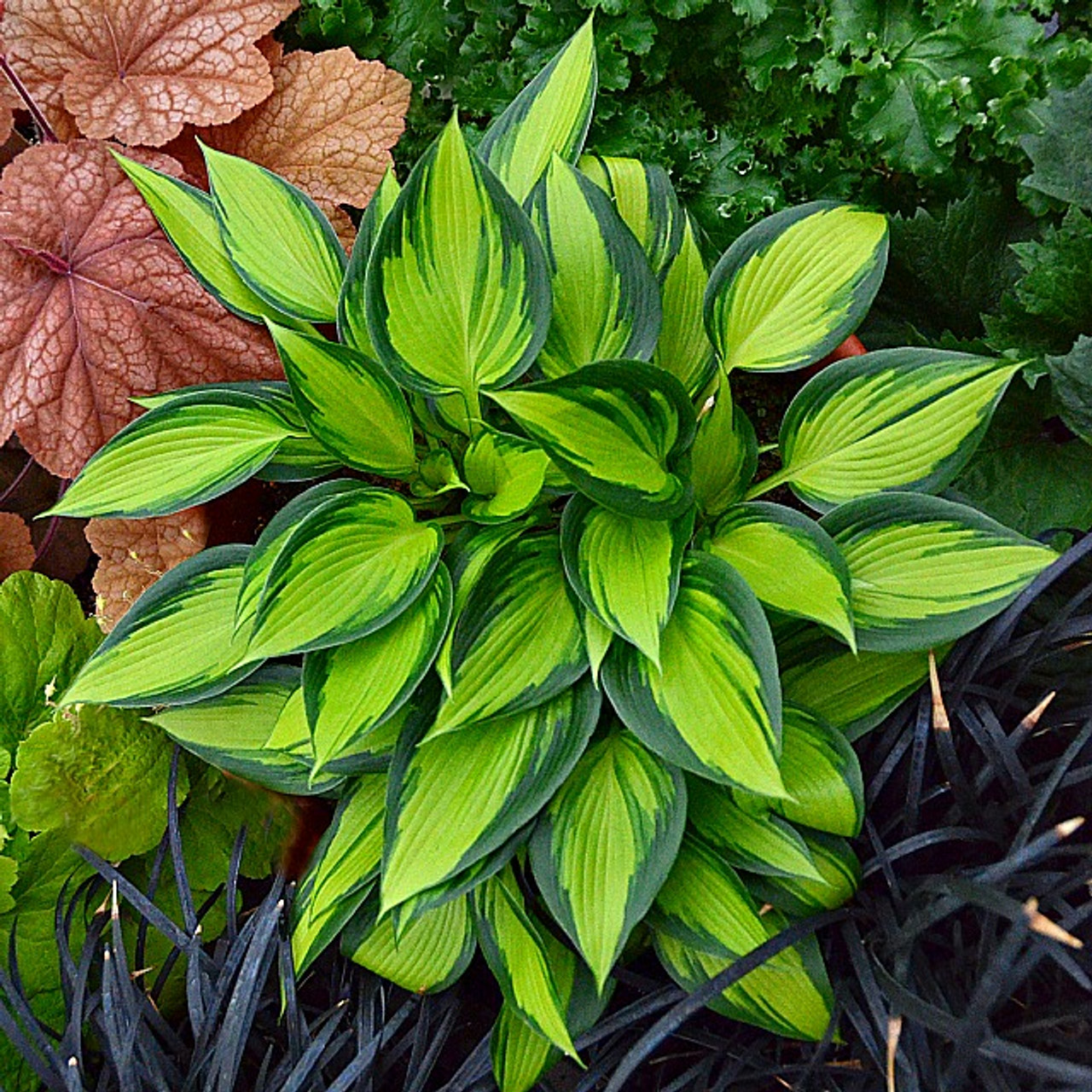 June Spirit Hosta Shade Perennial Sun Tolerant Hosta Plant