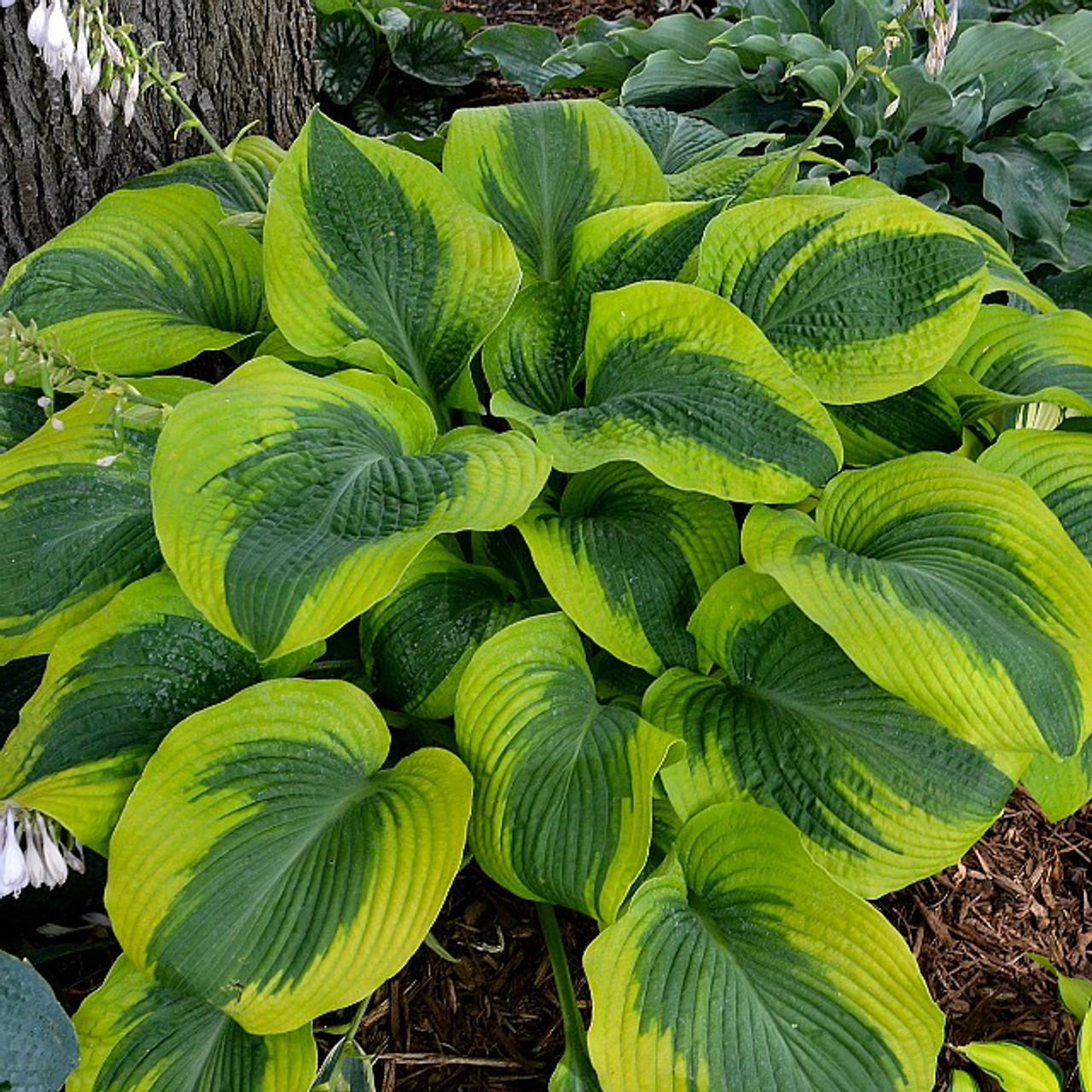 Afterglow Hosta Shade Perennial Sun Tolerant Hosta Plant