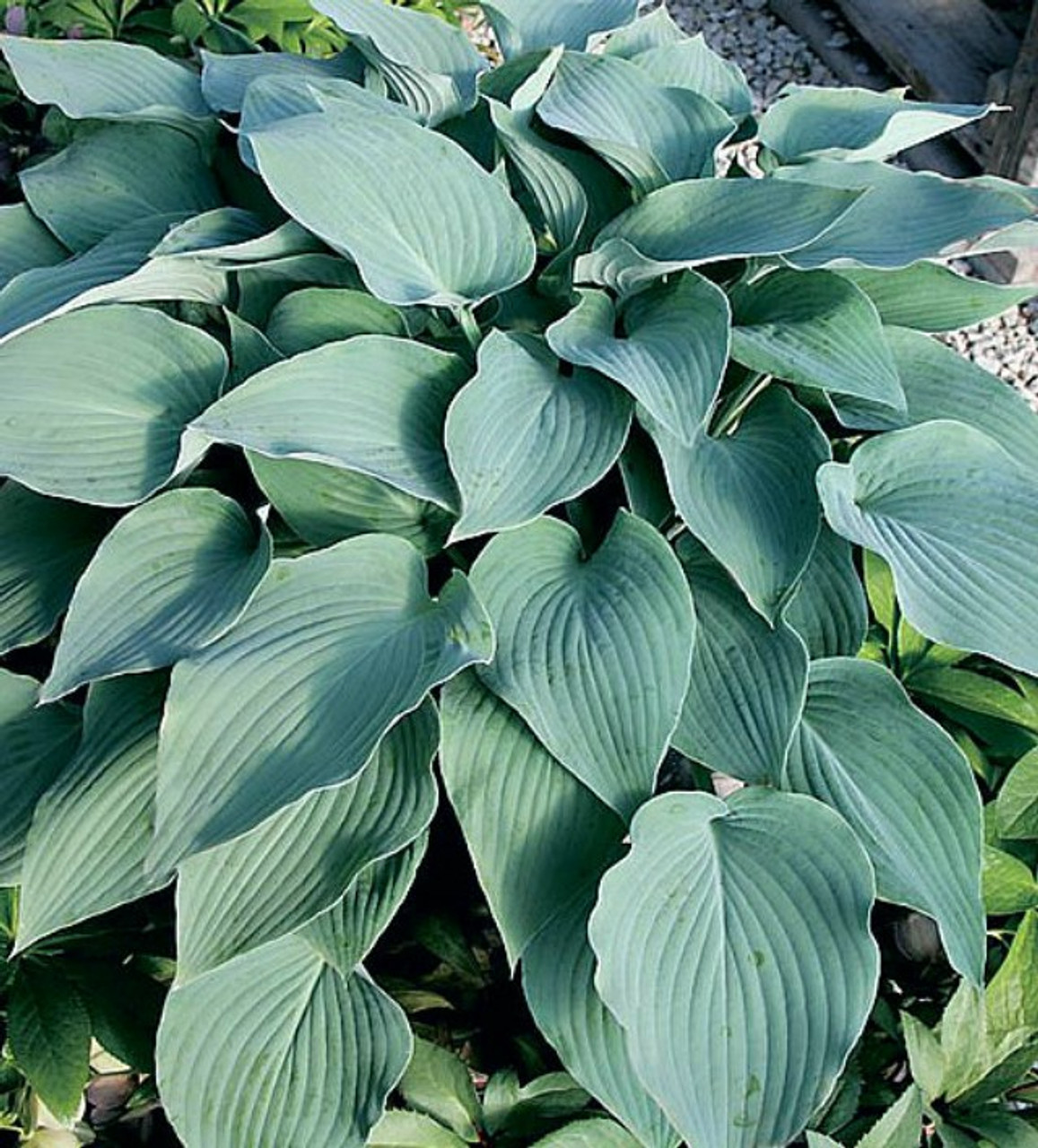 Mad About Blue Hosta Shade Perennial Slug Resistant Blue Hosta Plant