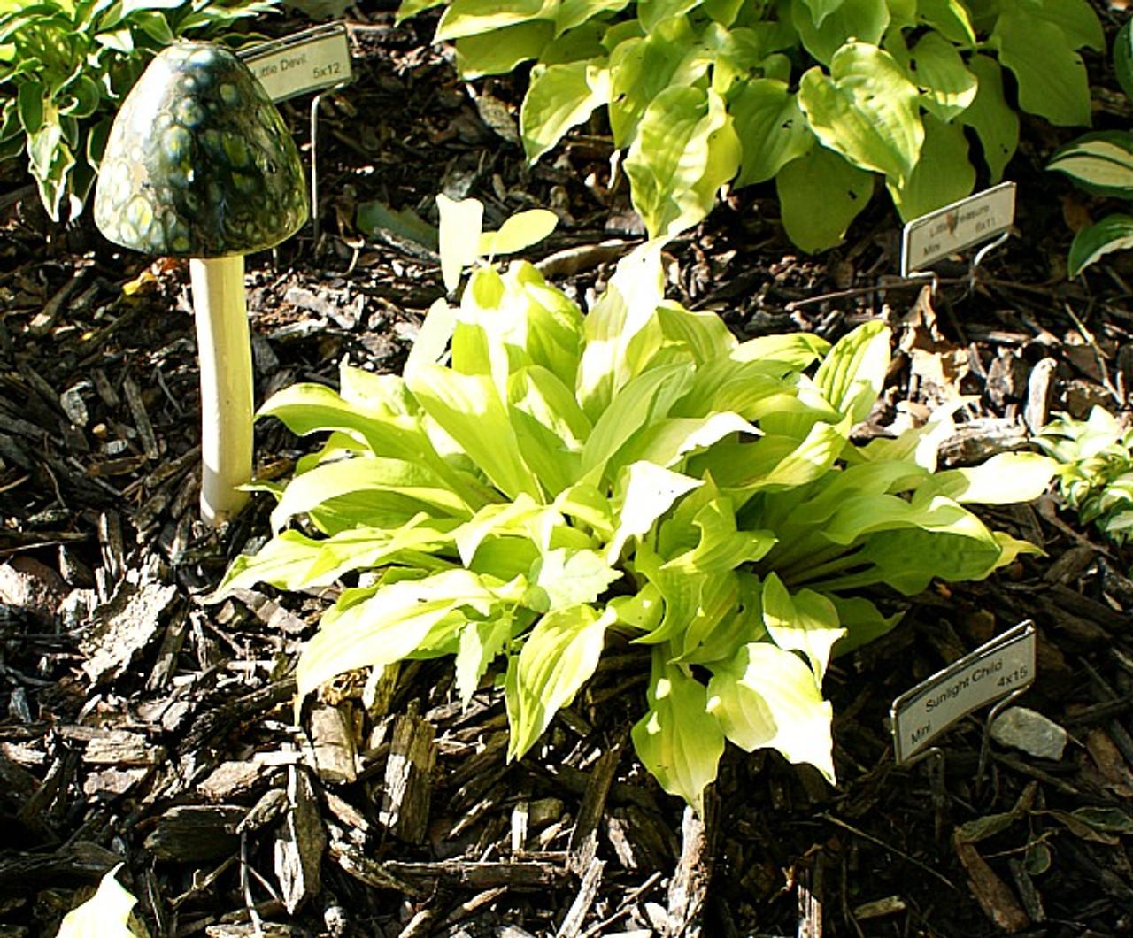 Sunlight Child Hosta Shade Perennial Miniature Hosta Plant