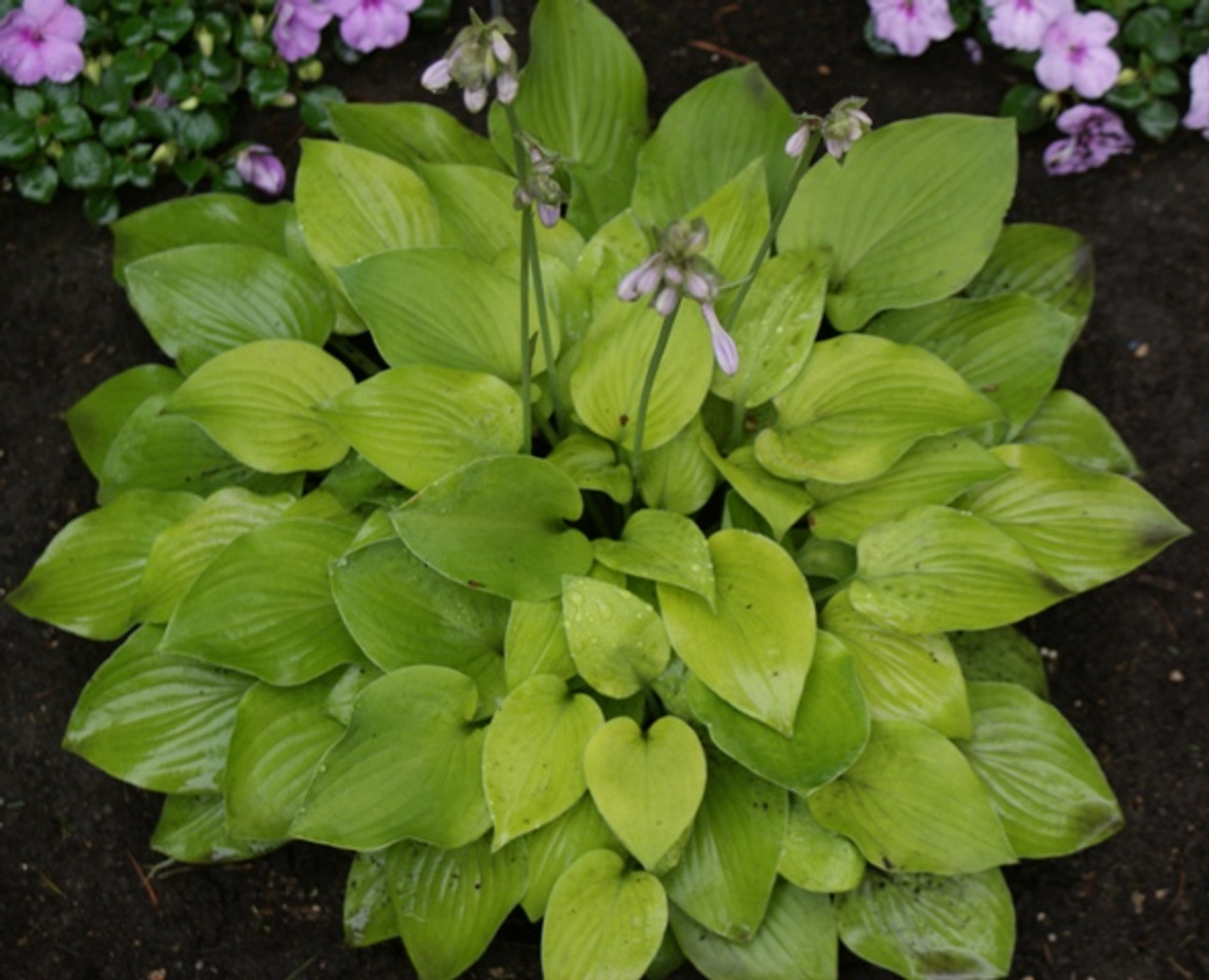 Wogon Gold Hosta Shade Perennial Small Yellow Hosta Plant