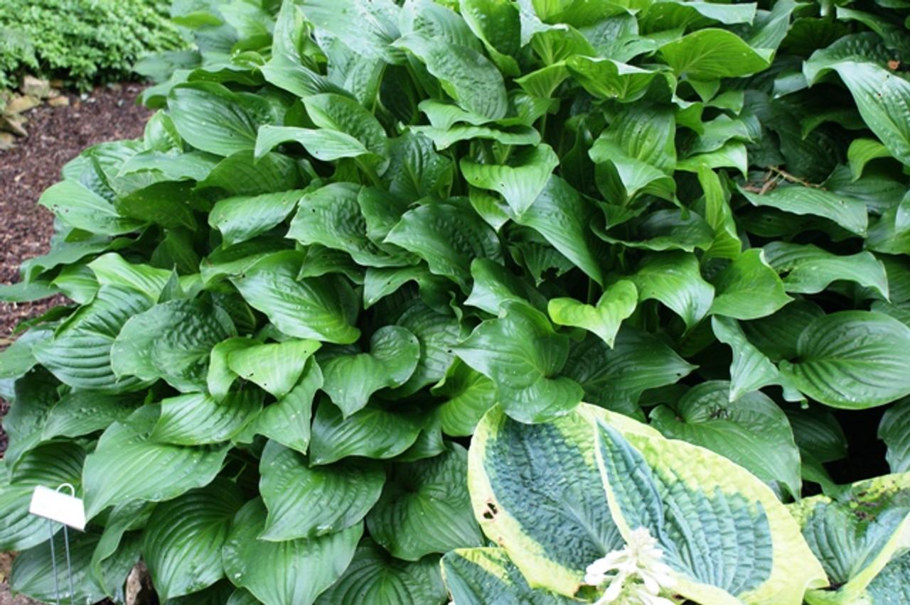 Royal Standard Hosta Shade Perennial Sun Tolerant Fragrant Hosta Plant