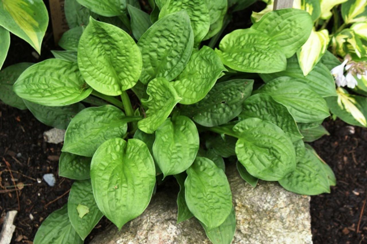 Goober Hosta Shade Perennial Miniature Hosta Plant
