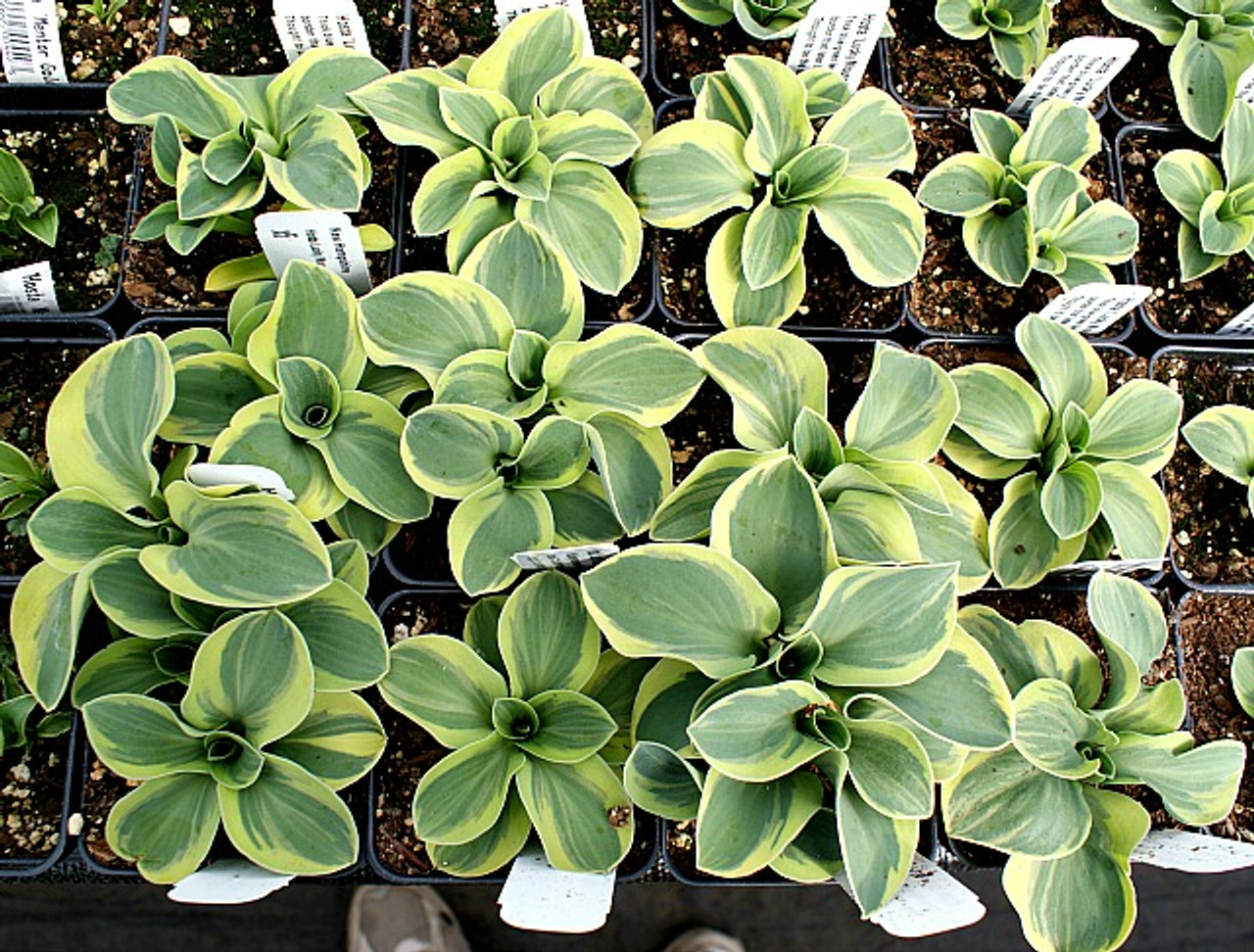 Lucky Mouse Hosta 3 Inch Container New Hampshire Hostas