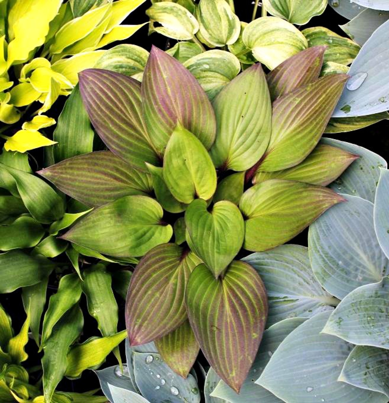 Hostas For Sale >> First Blush Hosta Pp28920 4 5 Inch Container New Hampshire Hostas