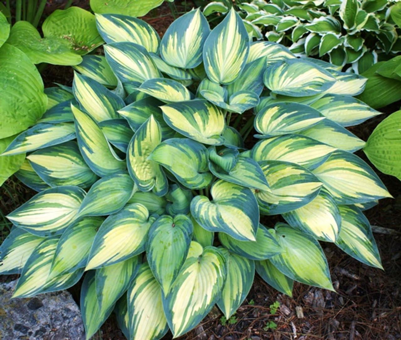 June Hosta Shade Perennial Sun Tolerant Hosta Plant