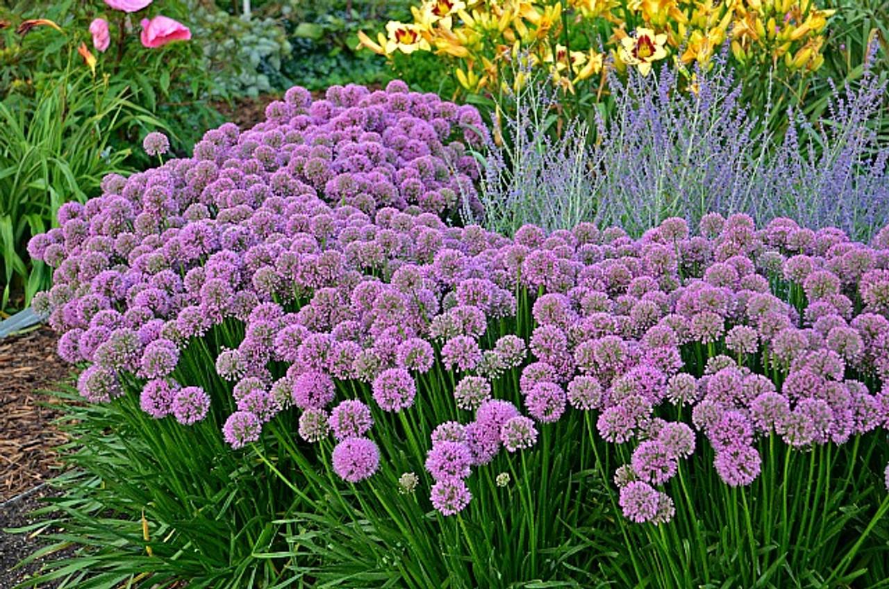 Allium Millenium 45 Inch Container New Hampshire Hostas