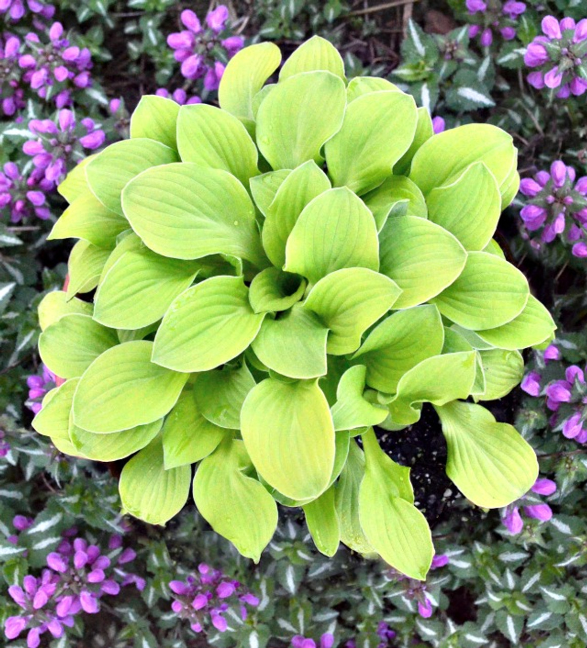 Sun Mouse Hosta Ppaf 65mm Elle Plug New Hampshire Hostas
