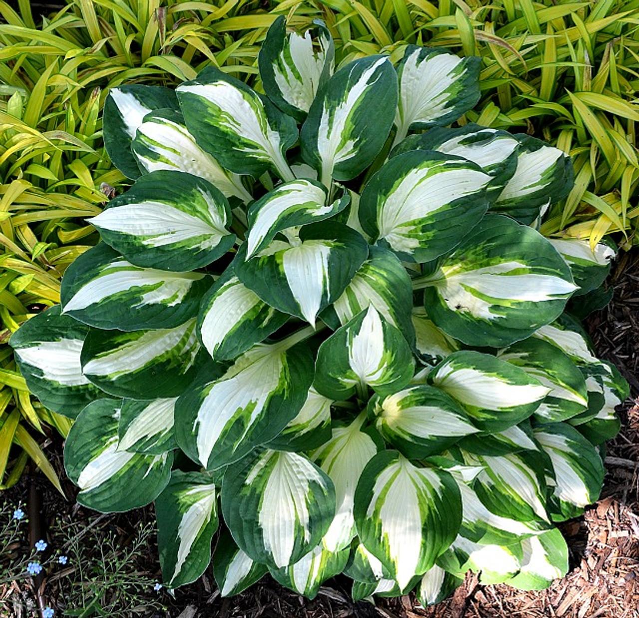 Vulcan Hosta Shade Perennial Medium Hosta Plant