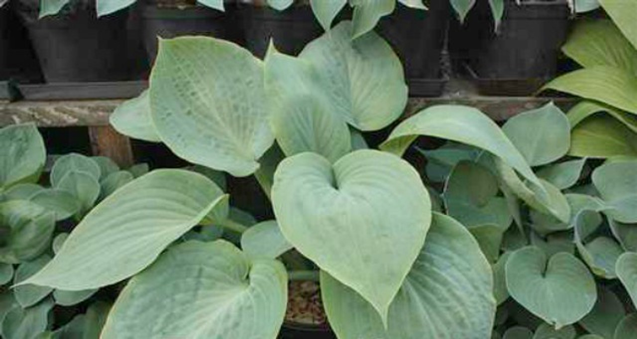 Bedford Blue Hosta 45 Inch Container New For 2018