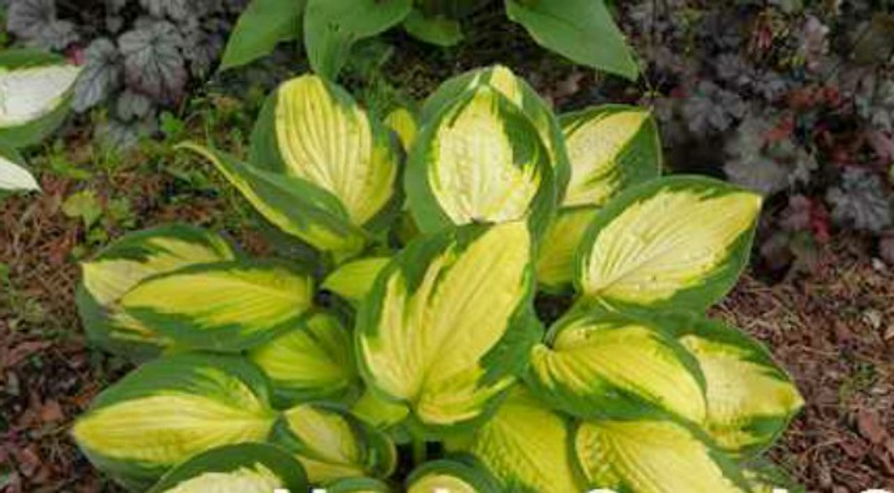Georgia Sweetheart Hosta 45 Inch Container New For 2018 New