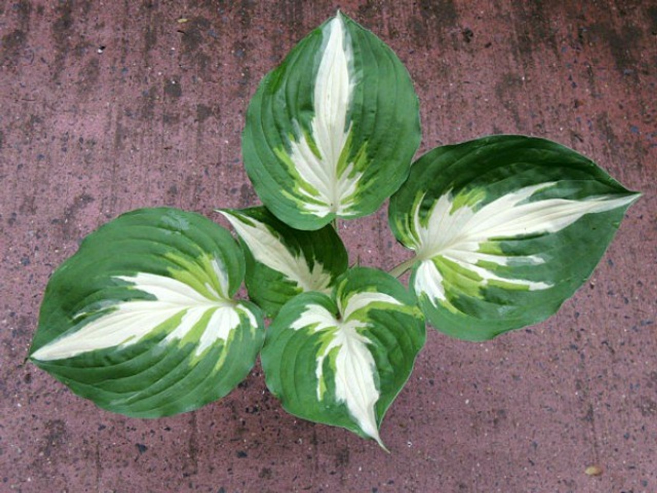 Christmas Island Hosta 45 Inch Container New For 2019 New