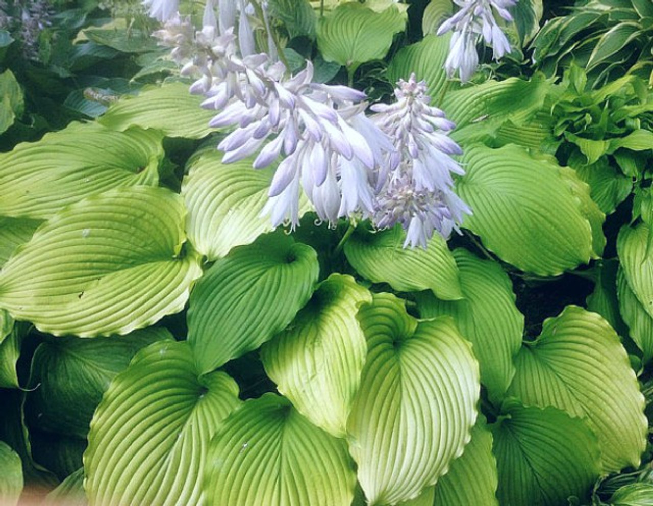 Golden Falls Hosta 45 Inch Container New For 2019 New