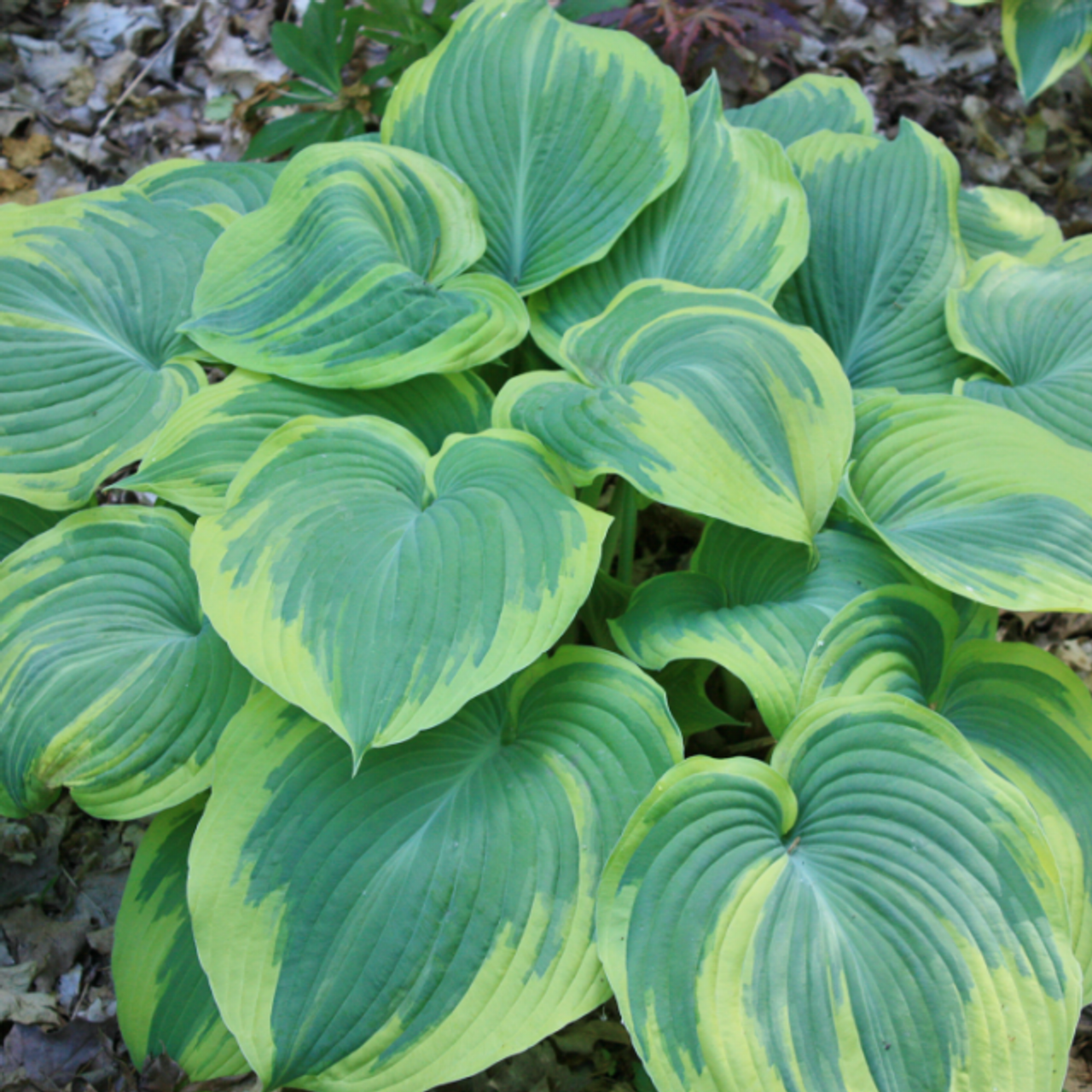 Earth Angel Hosta 45 Inch Container