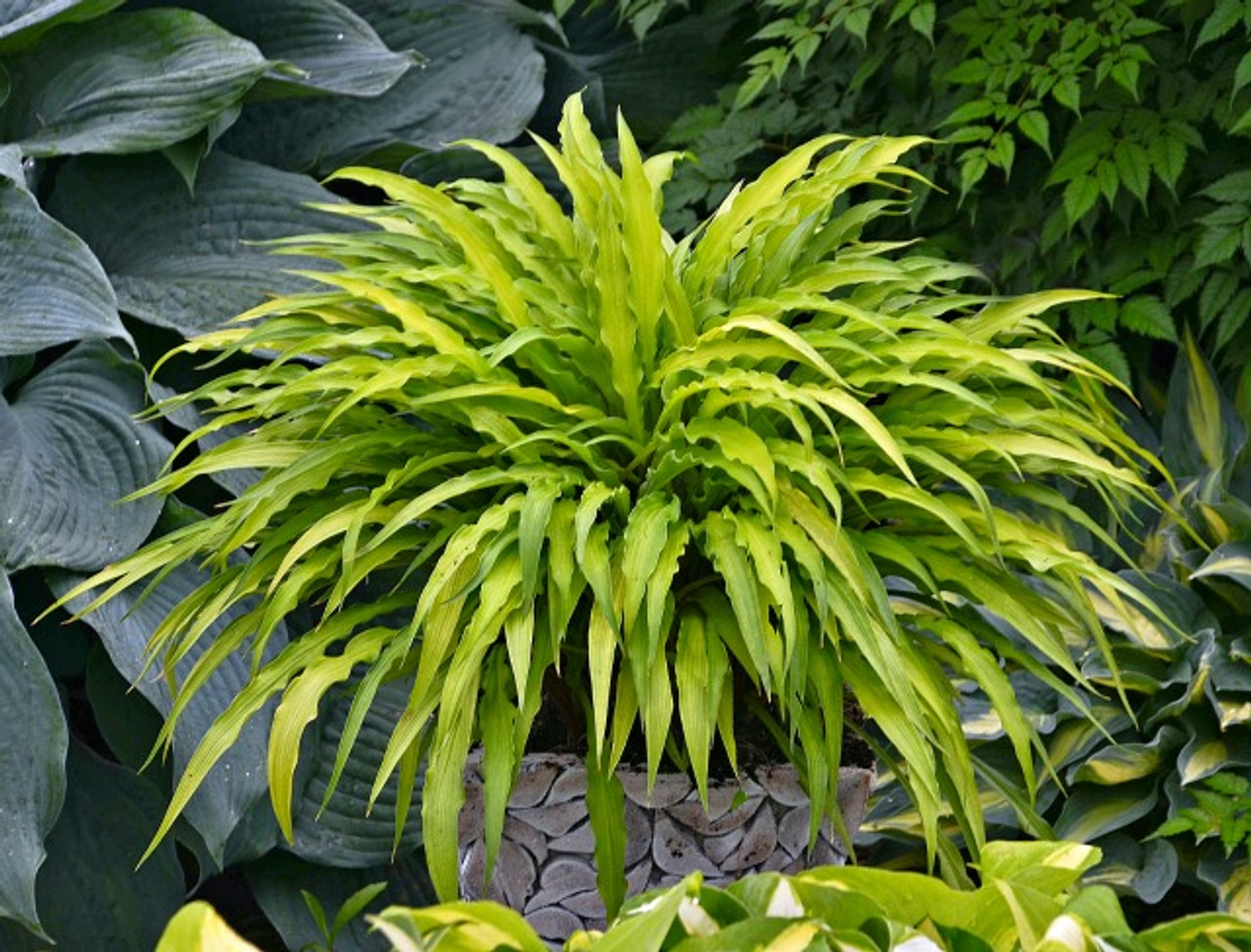 Hostas For Sale >> Curly Fries Hosta Shade Perennial Miniature Hosta Plant