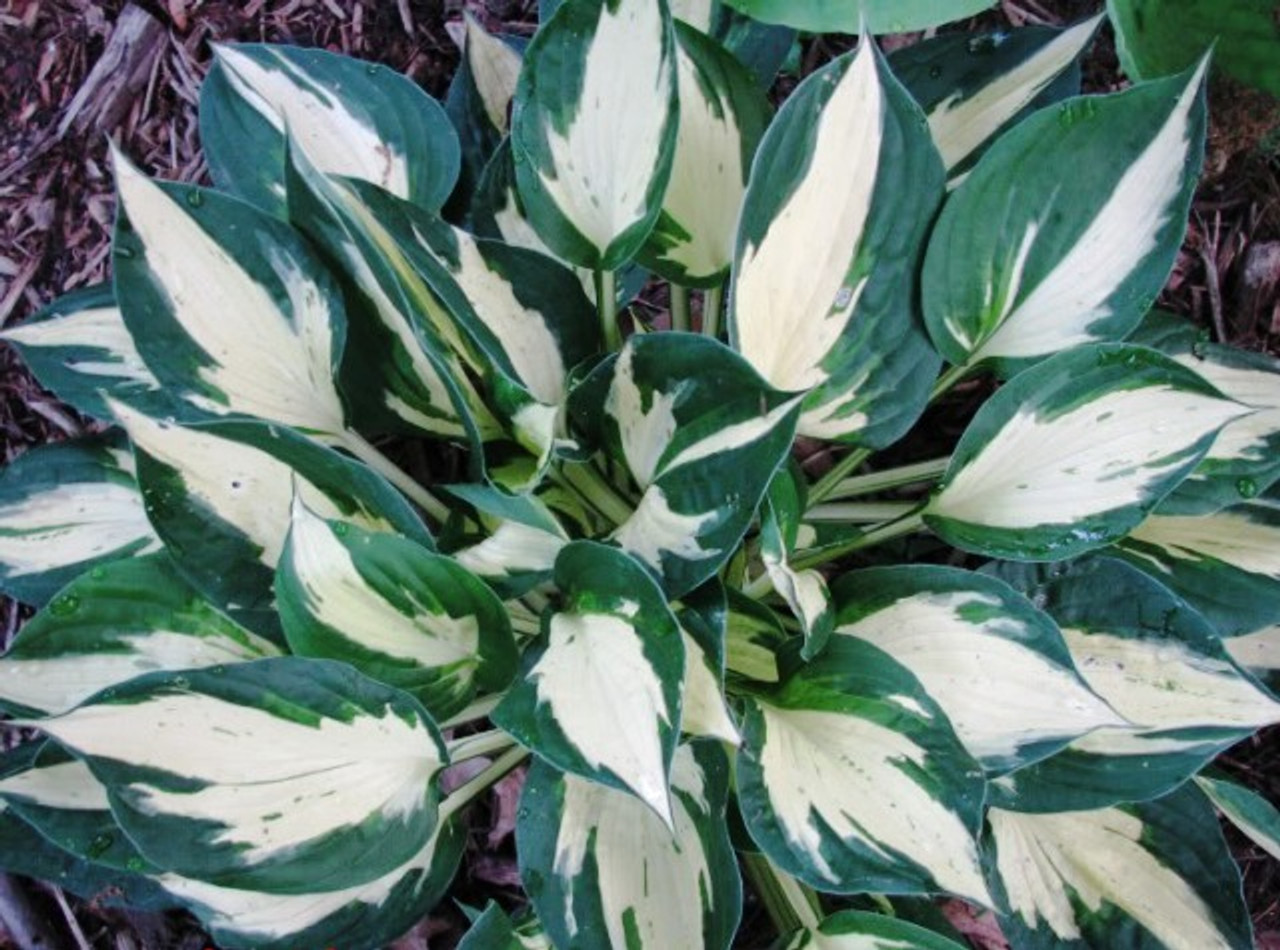 Eternal Flame Hosta Shade Perennial Green And White Hosta Plant