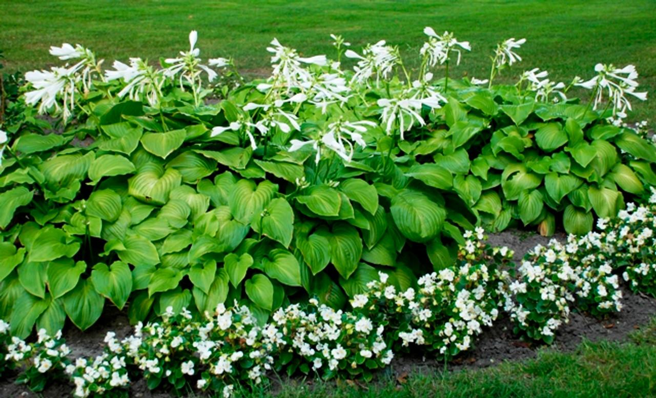 Hosta Plantaginea Shade Perennial Fragrant Hosta Plant