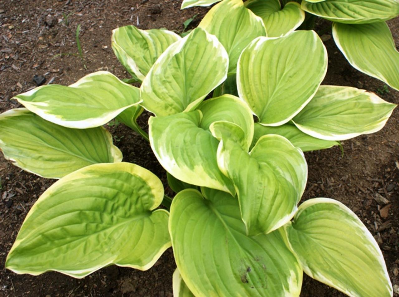 Fragrant Bouquet Hosta Shade Perennial Fragrant Hosta Plant