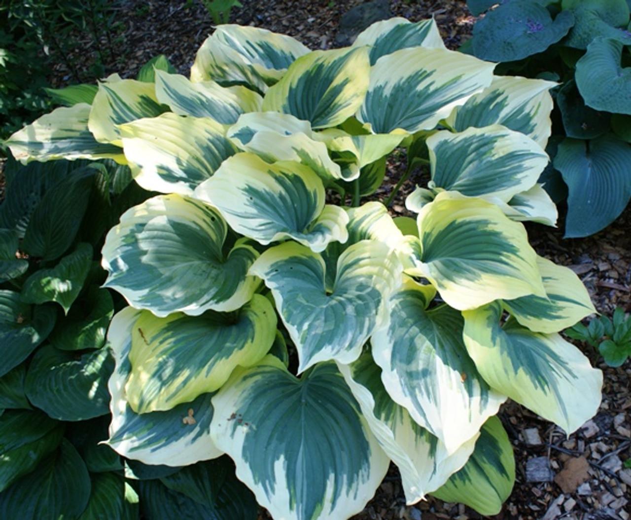 Liberty Hosta Pp12531 Shade Perennial Giant Sun Tolerant Hosta Plant